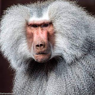 portrait animal scandinavian københavn photographer scandinavianstyle photography copenhagen zoo monkey nikond750 nikonphotography baboon travel photo danmark destination nikon_shots denmark