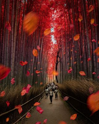 bambooforest kyotosnature natureaddict autumnintokyo autumndays beautifulautumn skypixels landscape_japan placesoftheworld onedayinjapan explorekyoto beautifulplaceworld around_world travelgram bambooforestkyoto