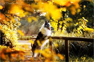booknow dogphotography autumn bordercollie tamron70200g2 exploremore changeofseasons horsephotography colors autumnleaves nikon equinephotography photoshoot nature