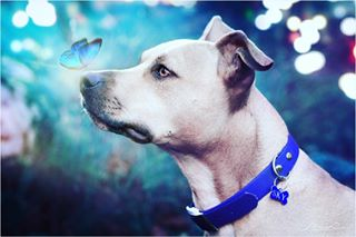 sky photoshop pet fantasyphotoshoot fantasyphotography fantasyart fantasy dogstagram dogsofinstagram dogs dogphotography dog butterfly