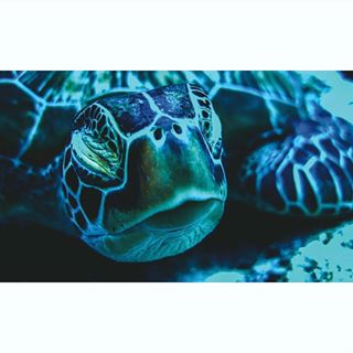 sea wildlife scubasphere rashdoo fisheye wildlife_shots watercolor turtle divingphoto indianocean underwater_world_ lumixgx8 kuramathi indianoceanview sleepy greenturtle scuba diving blue maldives scubaworld wildlifephotography underwaterphotography ocean underwater