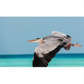 indianoceanview ocean telephoto fly tele indianocean kuramathi scubaworld birds flying wildlife_shots watercolor flyingbird canon700d blue birdphoto island sea maldives heron grey bird wildlife wildlifephotography greyheron