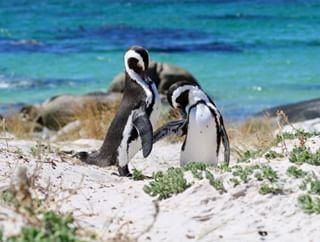 travelphotography penguins southafrica travel