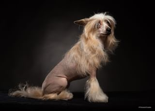 animalphotography chinesecrested chinesecresteddog dog fineart moscow pet portrait profoto steninstudio денвил_ози_мульта