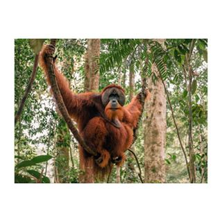 indonesia orangutan pentax645z theworldaheadofus
