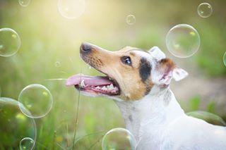 dogphotography petphotography bubbles petstagram jackrussellterrier terrier featuremydog excellent_dogs bestwoof cutedogs instajackrussell dogfeatures dogstagram pets mydog jackrusselllovers cutenessoverload dogsofinstagram