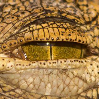 closeup alligator eye canon6d crocodile crocodileofinstagram canonphotography canon