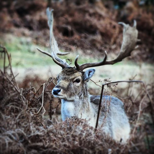 mothernature photography photographer photograph stag deer world explore earth travelling traveltheworld travel photolife shot planet travelphotography photo adventure nature bradgate aesthetic camera image reindeer photooftheday travelgram picoftheday f4f life photographlove