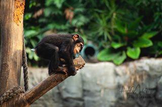 photographer zoo monkey chimpanzee photography zoochallenge baby leipzig eyes