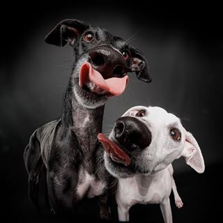 hundeblick dogtongues whippetcorner mmmexplore freethegalgo longdog raw_pets tongueouttuesday dogscorner galgoespanol fluffyfriends sighthounds ruffpost galgolovers