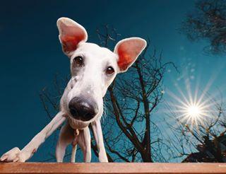 windhundgang wideangeldog dogsontables sunflares dogears whippetlife whippetstyle sighthoundlove hundeliebe moderndogmagazine dogstagram mmmexplore raw_pets köllefornia sigma1224art