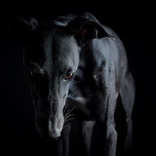 blackgalgo galgoespañol dogphotographer dog_features instagalgo lowkeyportrait dogart blackdogsrule dontbuyadopt galgolover lowlightphotography sighthoundsofintagram fluffypack lowkeyphotography