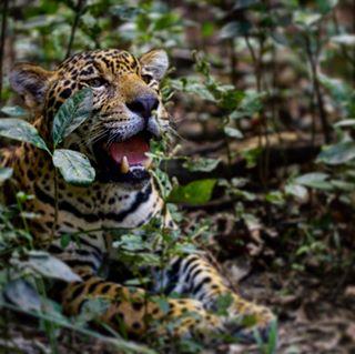 bigcats clempass felino iniciativabigcats2018 jaguar natgeo selva venezuela