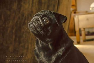 photoshoot norfolk dog winstonchurchhill heacham photography pug