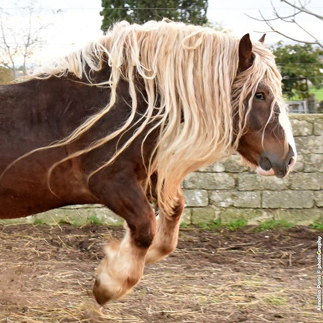shooting equinephotography stallion biodiversity show drafthorse ig_puglia caitpr