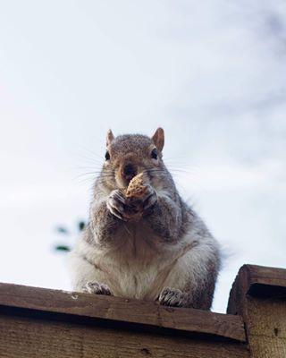 cuteface animals glasgowmodel instaboy love eatingnuts greedyboy squirrely glasgowlife nut animalphotography life squirrel 50mmportrait squirrelsofinstagram toocute babies glasgowphotography scottishsquirrel boy