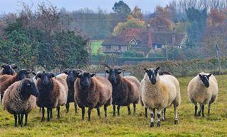 england photography winter animalsofinstagram animals rural rainyday herd wool farming cute englishcountryside sheepofinstagram uk sheep nature horns