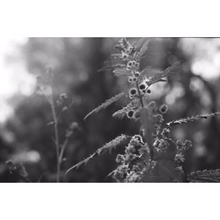 35mm 35mmblackandwhitefilm 35mmfilm 35mmfilmphoto 35mmmagazine blackabdwhitenature blackandwhite blackandwhitefilmphotography blackandwhitephotography filmisalive filmisawesome keepfilmlive kodak nature photozoneone uimag zenit12xp