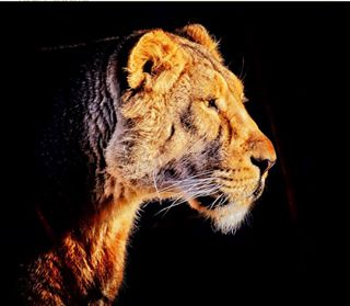 africa animal animals bhfyp bigcat bigcats cats cute instagood instagram king like lion lioness lionking lions love nature photography photooftheday safari tbt throwbackthursday tiger wild wildlife wildlifephotography