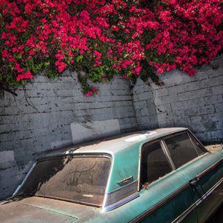 bougainvillea forsale photography color la echopark classiccar laphotographer holidaysale prints losangeles