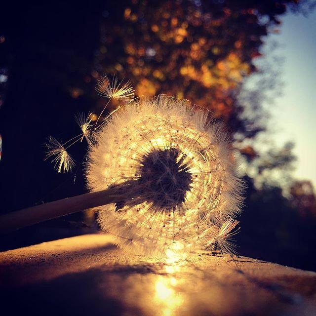 art autumn🍁 beautifulday beautifuldestinations breathe dandelion dandelionseeds dandelionwishes dmuchawce dmuchawcelatawcewiatr freedom herbst ilovemyjob instagram jesień latawce nature passion photography photooftheday picoftheday pro pusteblume sonnenuntergang sunsets wiatr zachódsłońca złotajesień