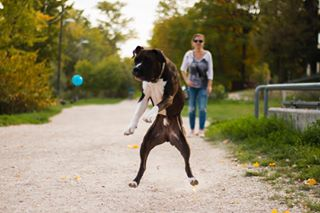 animals autumn boxerdog canon canon70d canonphotography dog dogwalking fall nature photography romaipart