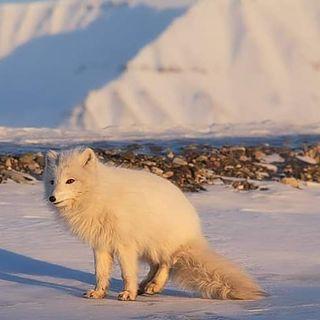 arcticfineart sony visitnorway polarfox