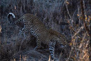 reise bilddes wildlife cat leopard picoftheday naturfotografie bigfive südafrika funtime predator safari bush afrika photooftheday fotodestages nature wildlifephotography fitoreisen tierfitografie katze travel günterlenz southafrica jäger africa
