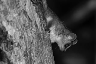 mausmaki fotoreise fotodestages kirindyforest tierfotografie blackandwhite animals süss microcebusmurinus sw madagascar naturfotografie bandw fotoreisen wildlifephotography lustigetiere photooftheday microcebus kirindy animal madagaskar tiere naturephotography cute lemur lemuren