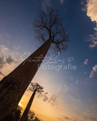 landdscapes baobaballee riesenbaum travelphotography madagaskar africa madagascar sky baobab roots himmel reisefotografie landscapephotography afrika landschaft nature natur allee baumriesen