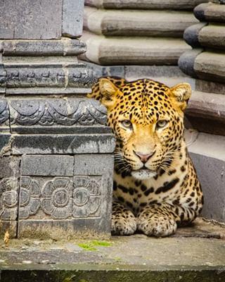 pairidaiza leopard