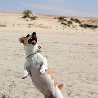 dubai dogbeach doggy hyperguy jackrussellsofinstagram jackrussell jebelalipalm cuteness