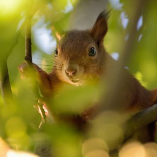 animalportrait animals green loveanimals nature squirrel trees