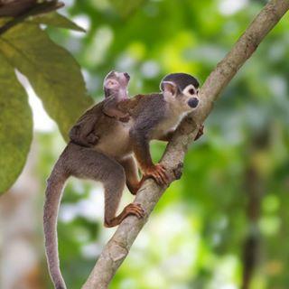 amazonas colombia forest mico monkey natgeo natgeotravel naturaleza nature nikon selva sigma titi travel wildlife