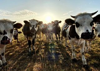ohlavache vaches cows shadow manormandie manormandiecherie insta_normandy sunrise sunrise_sunset dawn daylight sunset sunsetlovers sunsetphotography automne2020 autumnvibes eure visitnormandy euretourisme symetry minimalisme visitfrance campagne countryside countrylife 3inarow_2prem 2prem_3inarow 2prem