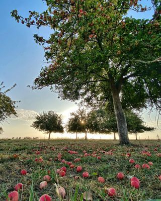orchard tree manormandie manormandiecherie insta_normandy sunrise sunrise_sunset dawn daylight sunset sunsetlovers sunsetphotography automne2020 autumnvibes eure visitnormandy euretourisme symetry visitfrance campagne countryside countrylife 3inarow_2prem 2prem_3inarow 2prem ig_shotz ig_shotz_trees ig_shotz_sunset france4dreams superfrance
