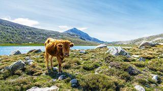 cattle corse corsica d750 gr20 hiking lacdenino mountains natgeotravel nature nikonbelgium outdoorlovers outdoors pozzines trekking wilderness yourshotphotographer