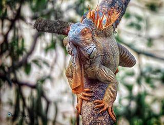 wildlife_seekers ig_costarica natgeowildhd animalgram iguana sonyworldclub bestwildlife tropicalwildlife colors_of_day reptilien mytravel reptile thisiscostarica natgeowild animalshots wildlifeofinstagram wildlife_vision wildshot amazinganimals wildlife_perfection tiere costarica🇨🇷 landscape_hunter