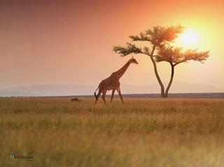 africanwildlife landschaftsfotografie morningwalk gallery_of_magic giraffes sunrise_capture africandream nationalpark wildlife_vision maasaimara sonyclub africanamazing earlymorninglight whyilovekenya safari ig_africa