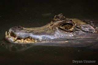 alligator cayman closeup crocodile danger dangerous eye jaws pond predator reptile reptilian river scary water wild wildlife withteeth zoo