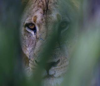 mozambiquewilderness bigcats wildlife wildlifephotographer insta_mozambique mozambique niassalionproject lions wildlifephotography niassa