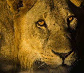 wildlifephotography mozambiquewilderness niassa natgeoyourshot canon bigcats niassalionproject instamozambique mozambique worldlionday lions