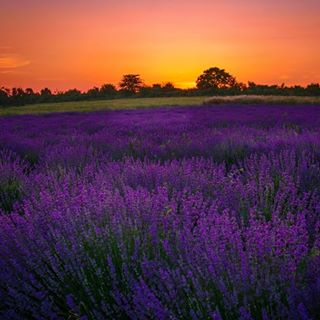 bulgaria bulgarianfields bulgariantravel goldenhour lavender lavenderfields sunset лаванда лавандула