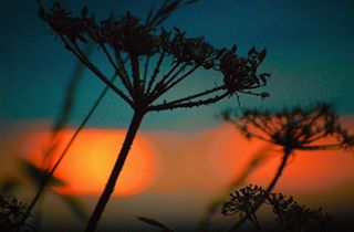 photographer 50mm photography lincoln nikonglobal plants sunset lincolnshire wildlife weed nikon photo britishwildlife wildlifephotography naturephotography folksouls nature beautiful travelphotography camera bokeh macrophotography silhouette englishcountryside lensbible
