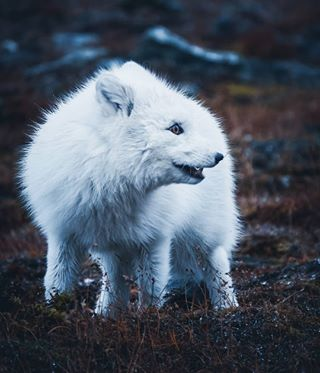 animal_fanatics animalshots arcticfox awesomeearth awesome_photographers bbcearth earthawe earthdeluxe earthescope earthofficial fantasticearth fjellrev folkgreen foxesofinstagram liveoutdoors modernoutdoors moodnation natgeo svalbard visualgrams visualsofearth vzcomood wildernesstones wildlife_photography wildlifeshots wildvisuals yourshotphotographer