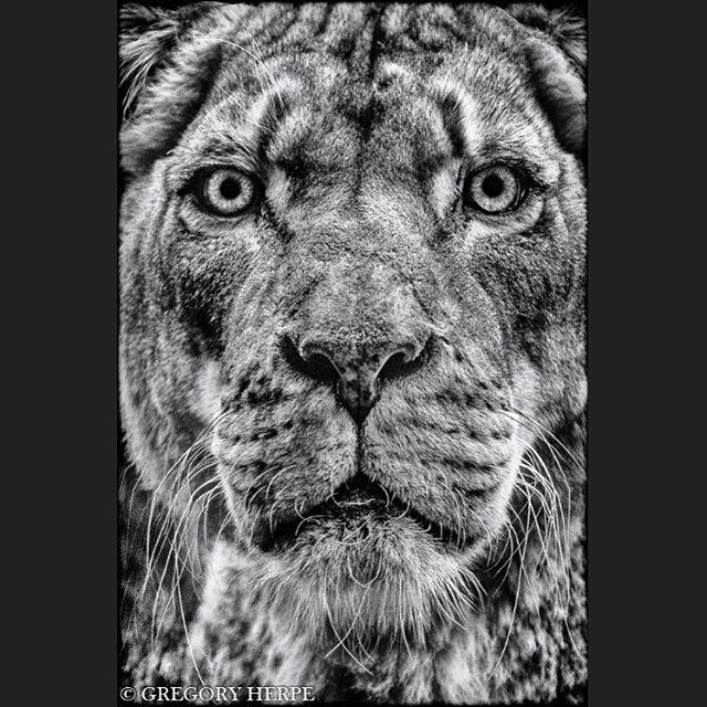 wildlifephotography lion queen africalife lionqueen lioness africa etoshanationalpark instaoftheday lionne wildlife etosha namibiatravel namibia wildeyes wildafrica strongeyes