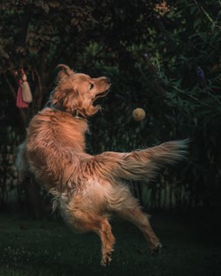 pet goldenretriever dogsplaying photography animals dogs_of_instagram petstagram animalphotography dog goldenretrieversrule sonyalpha