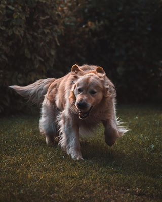 sonyalphasclub runningdogs sonyalpha animalphotography photography animals goldenretrieversrule petstagram pet goldenretriever dogsplaying dogs_of_instagram dog