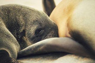 earthpic africa otaridos pelicantpoint biology nature seawolf walvisbay earthcapture seal mammals lobomarino sealife tamronlens capecross nikon nikond3400 cubs namibia wildlife