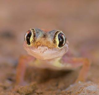 macro namibia dunes herpetology makro_turkey wildlife webfootedgecko desert safari geckosmile namib gecko animals batisbirding nikond3400 nature africa tamronlens